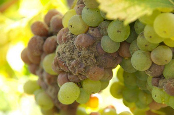 rot-grapes
