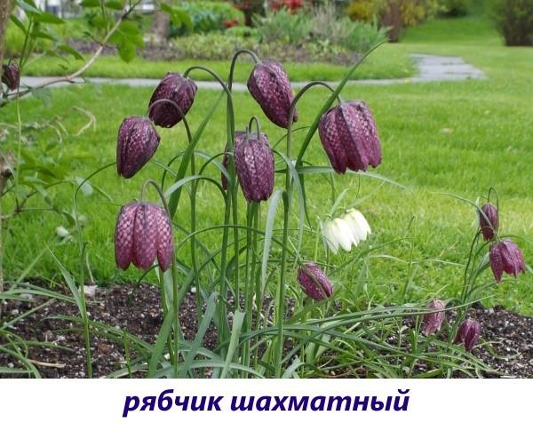 vidy-ryabchika-10