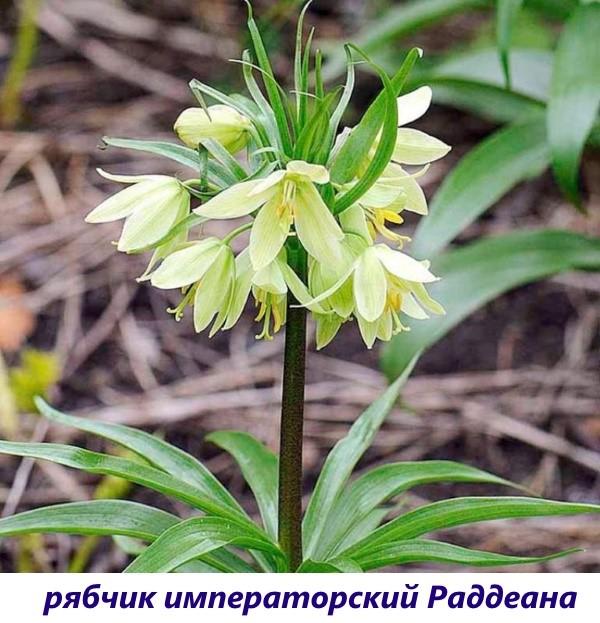 vidy-ryabchika-12