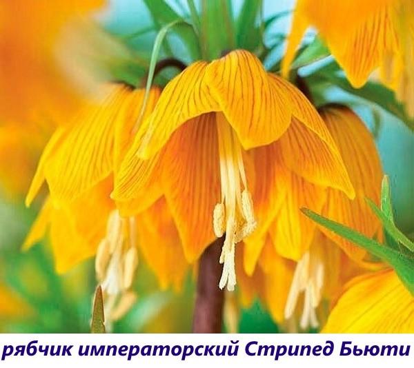 vidy-ryabchika-13