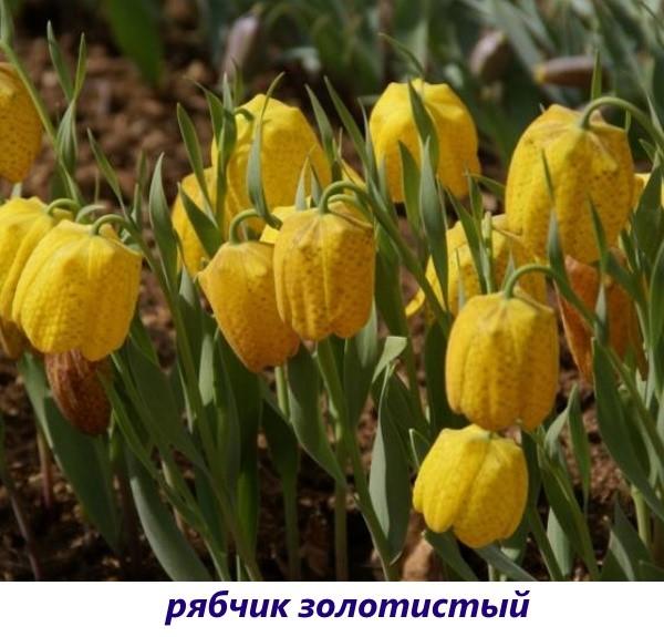 vidy-ryabchika-4