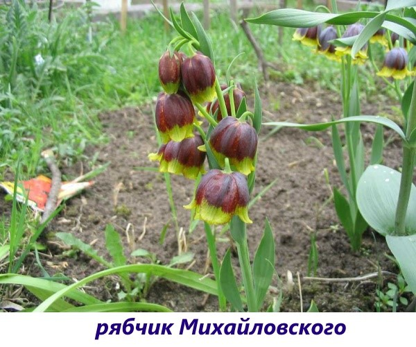 vidy-ryabchika-6
