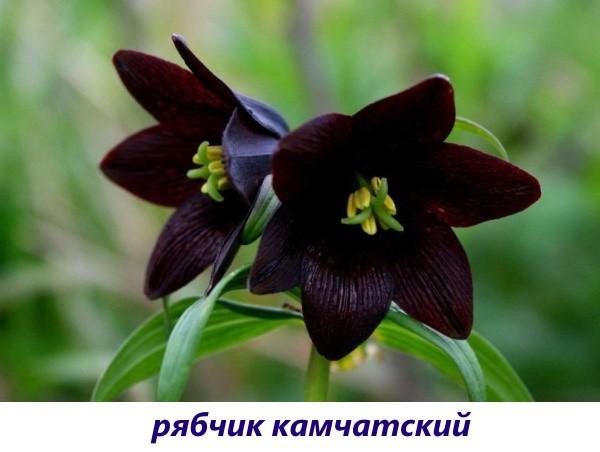 vidy-ryabchika-7