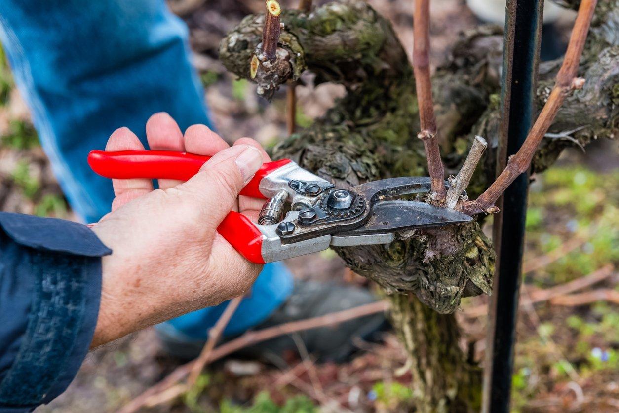 Обрезка винограда: когда лучше обрезать, способы формирования ...