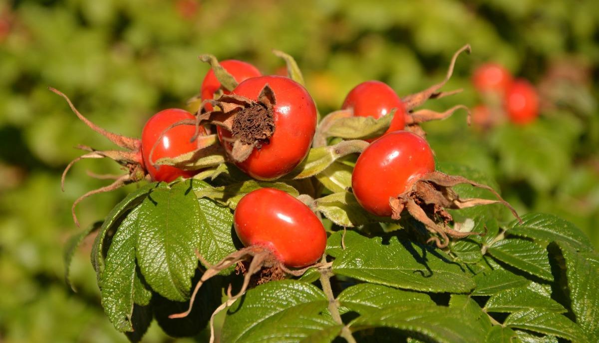 Шиповник: выбор сорта и советы по выращиванию. Шиповник: посадка и ...