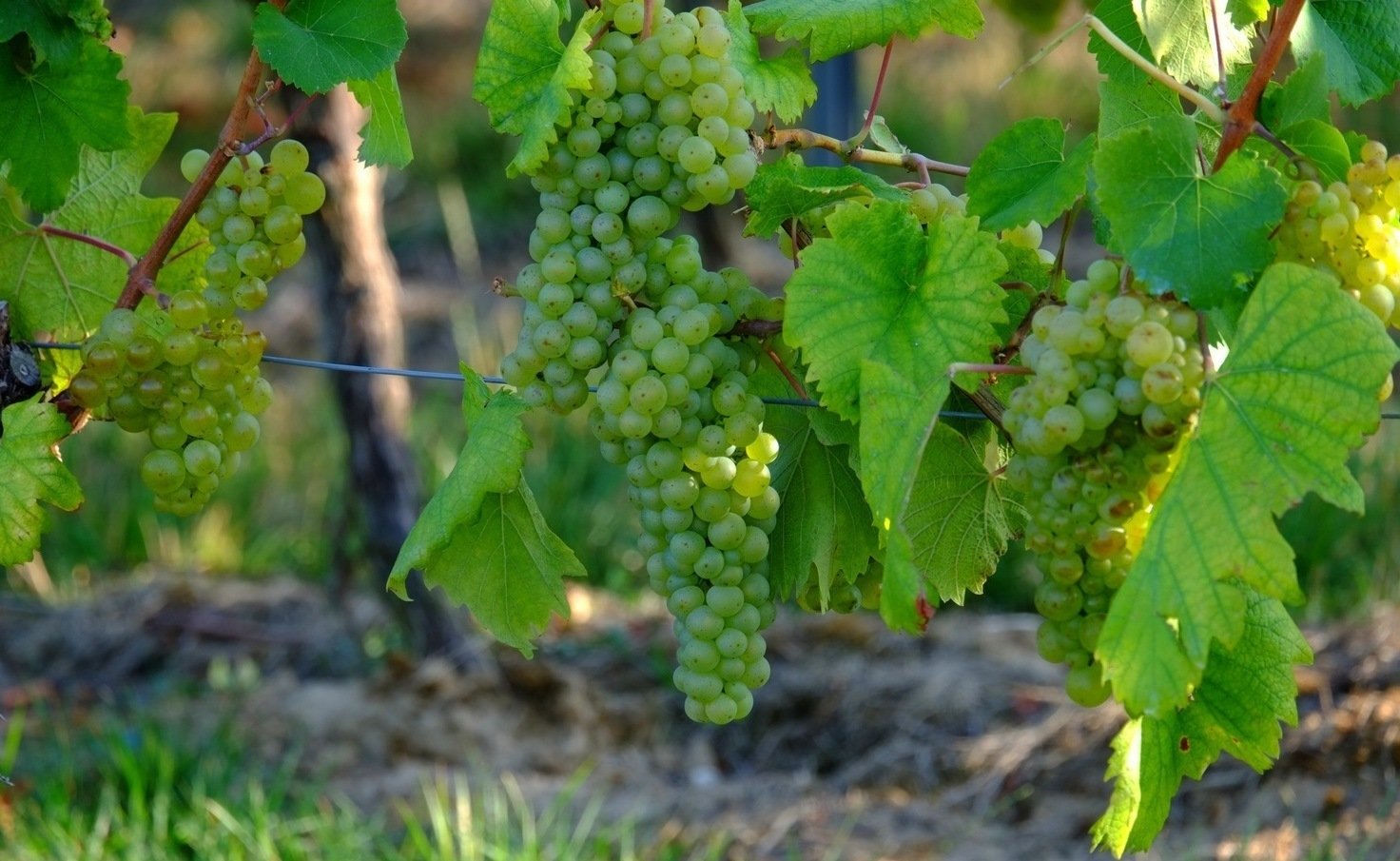 Как подвязать виноград, в том числе весной, а также описание ...