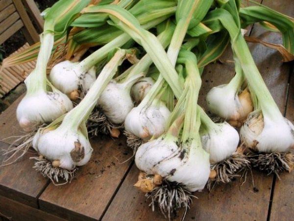 Garlic_04_640x481
