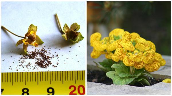 Semena-kaltseolyarii -Foto-s-sajta-flowersparadiso forum_ -Kaltseolyariya-morshhinistaya -Foto-avtora