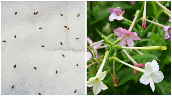 Vysevaem-po-snegu -Foto-s-sajta-floweryvale ru_ -Tak-mozhno-poseyat-melkie-semena-tabaka-krylatogo-na-rassadu -Foto-avtora