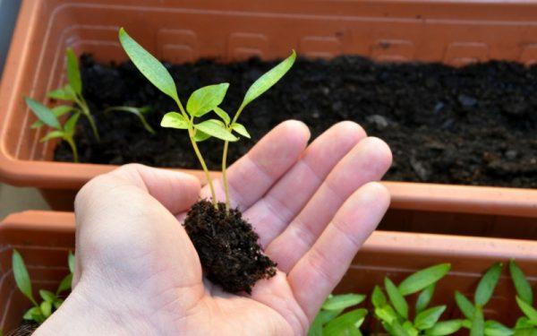 Насколько важна пикировка для растений, и как её правильно сделать