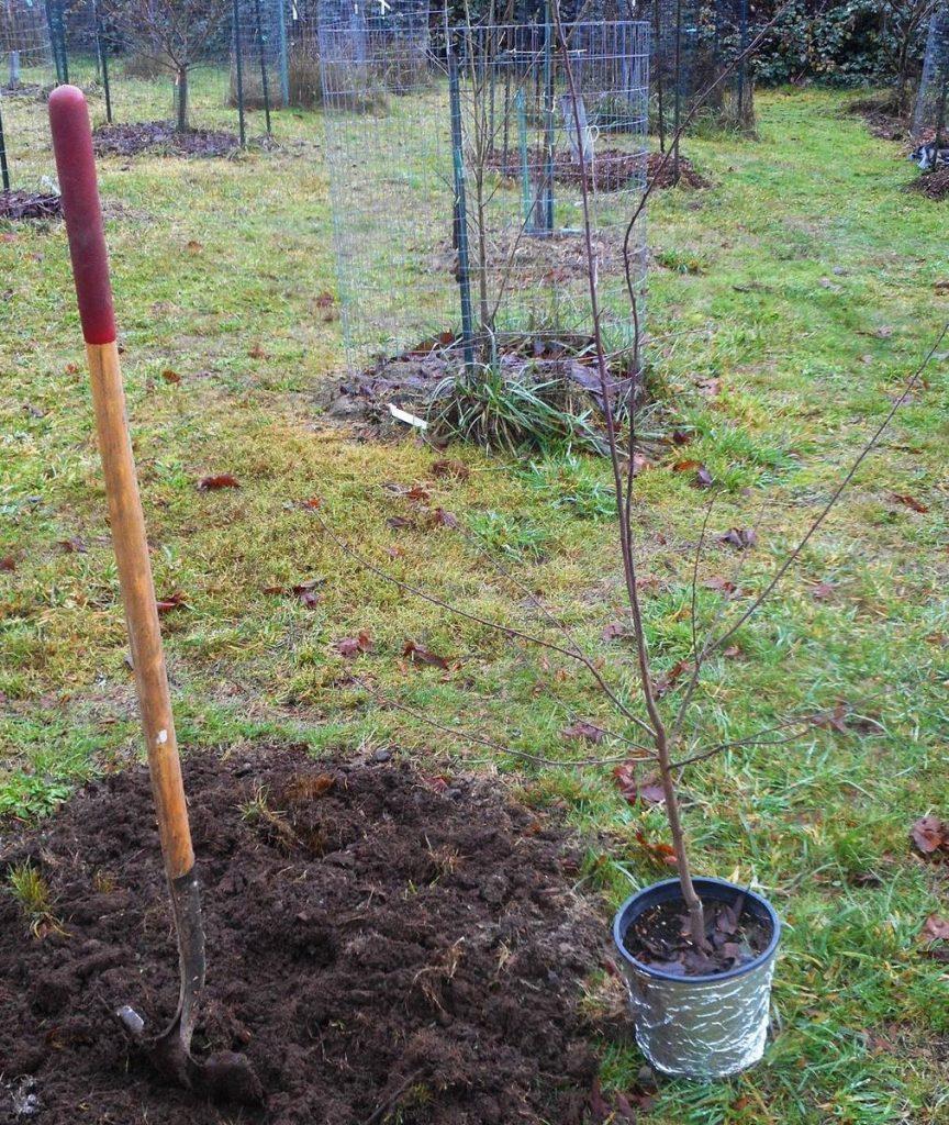 О сливе Светлячок: описание сорта, агротехника выращивания ...