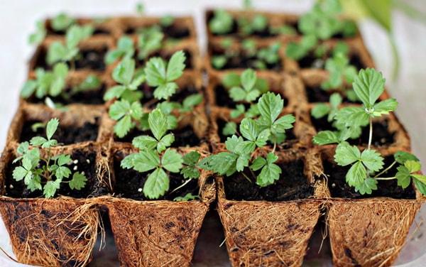 posadka-zemlyaniki-semenami