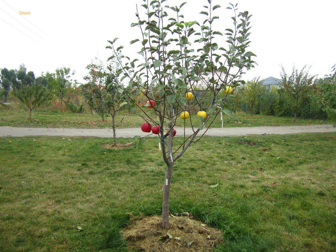 Посадка яблони саженцами, в том числе, как выбрать и ухаживать
