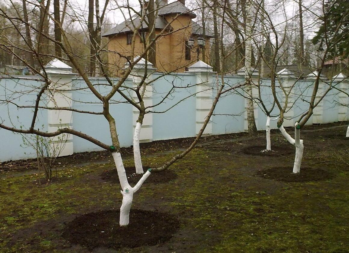 Зимняя обрезка яблонь и других плодовых деревьев: плюсы и минусы ...