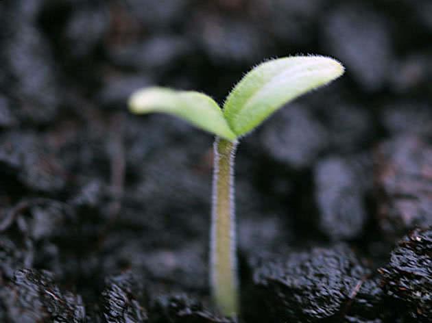 tomato_seedling2c