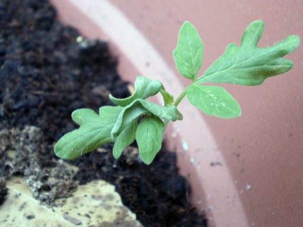 tomato_seedling3
