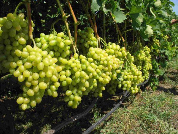 vinograd-na-kustah