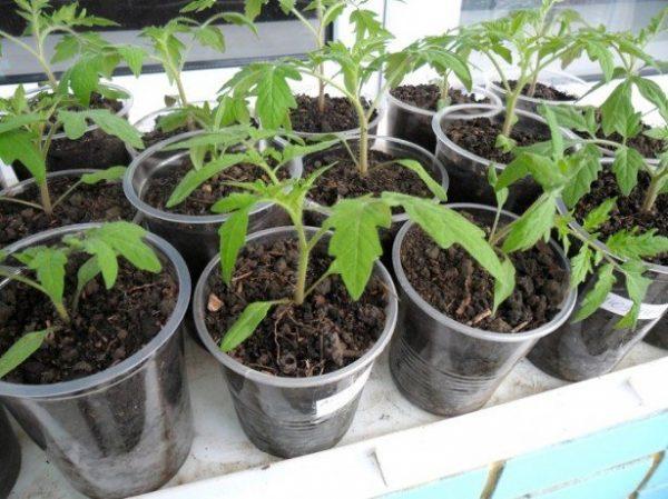 vyraschivanie-rassady-pomidor-na-podokonnike-kak-dobitsya-otlichnogo-rezultata-3-615x460-1