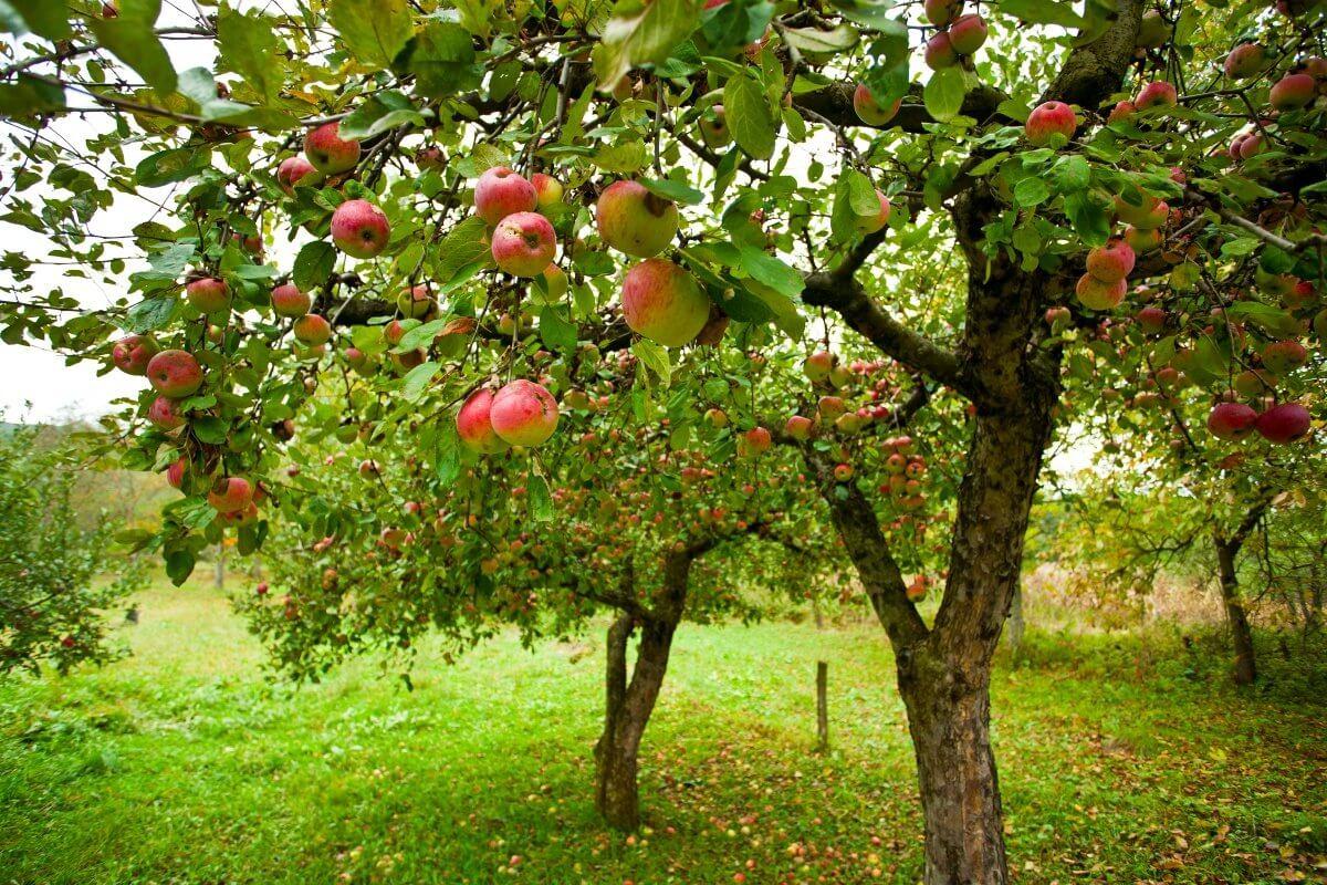 Яблоня сорта Орлинка - описание растения и особенности плодов ...