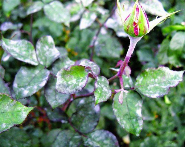 Болезни и вредители роз: описание, признаки, лечение, обработка ...