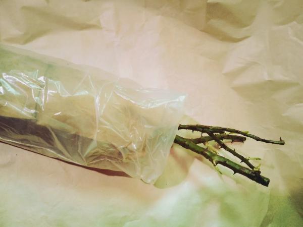 Korni-rozy-upakovany-v-paket-i-kraft_bumagu