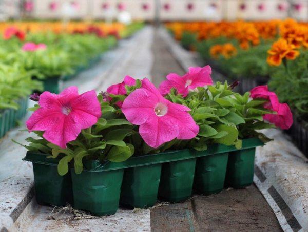Posadka-cvetov-na-rassadu-v-2020-godu-po-lunnomu-kalendarju-3