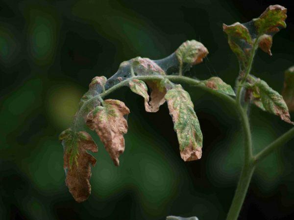 Tomato-leaves-5