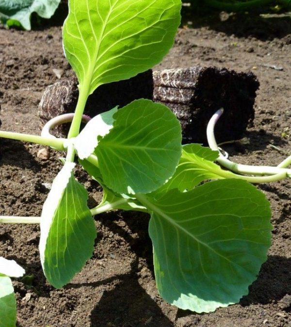 cabbage-04-640x720-1