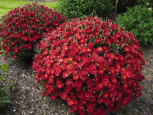 chrysantema-multiflora-1