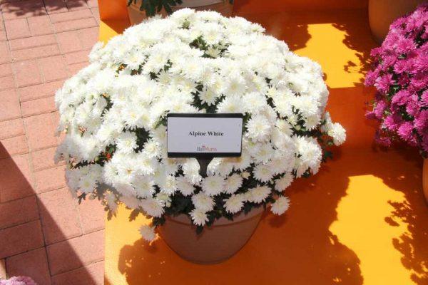 chrysantema-multiflora-17