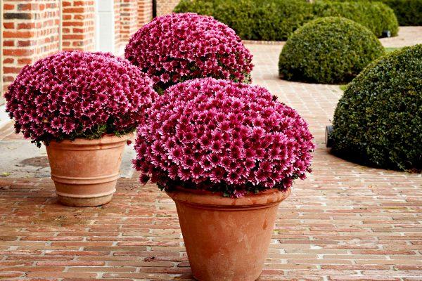 chrysantema-multiflora-4