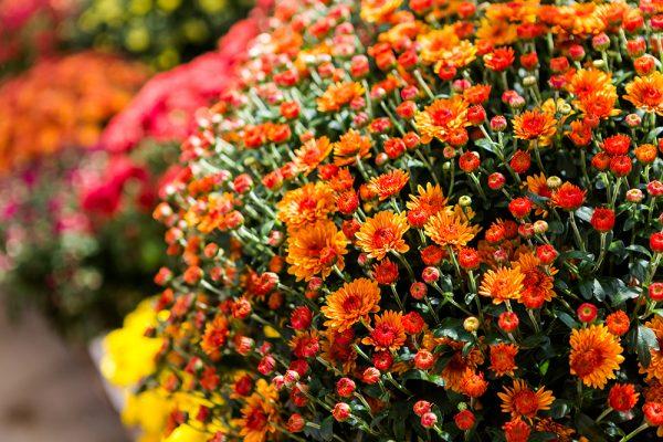 chrysantema-multiflora-9