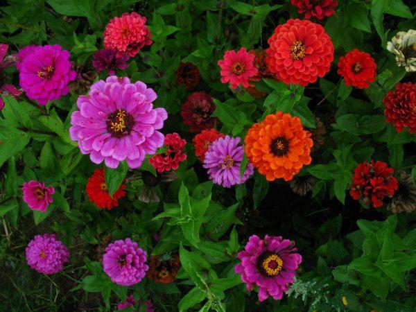 Разнообразие циний цветов: виды и названия, особенности синих ...