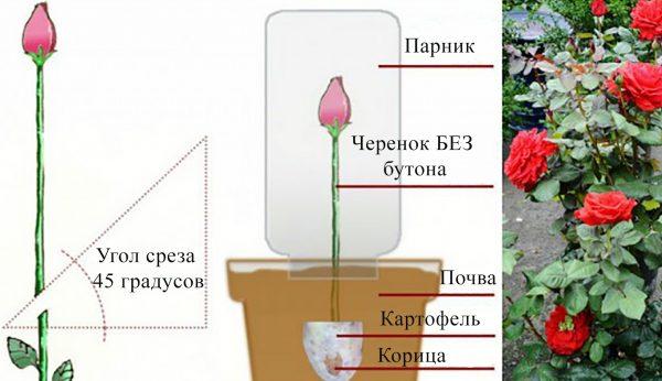 kakposaditrozuizbuketavdomashnixusloviya_7E14071F