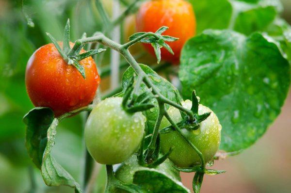 как подкармливать томаты минеральным удобрением - Prakard