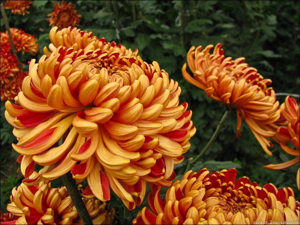 poliv-i-podkormka-xrizantem