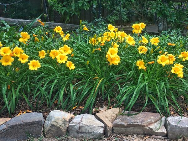 Посадка лилейников осенью — когда и как посадить