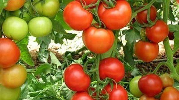 tomato-antalia-1280x720-1