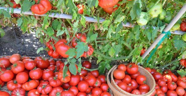 tomato-harvest-007-1300x675 jpg