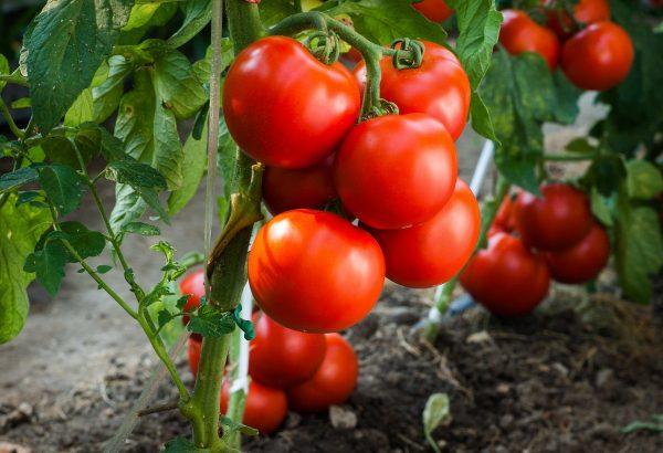 Выращиваем томаты без рассады — сорта, преимущества и недостатки ...