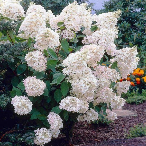 106793131_gortenziya-metelchataya-grandiflora