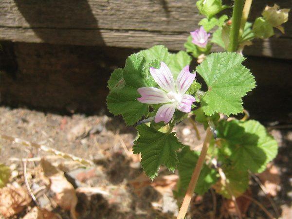 1200px-Malva_neglecta-flower