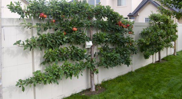 Выращивание плодовых деревьев на шпалерах — оригинальное украшения сада