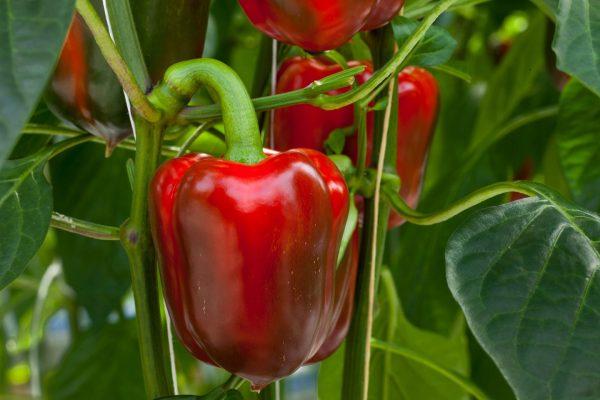 1533339355_green-pepper-wallpaper