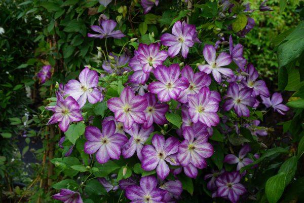 Клематис Pernille (Перниль) - Зеленый сад