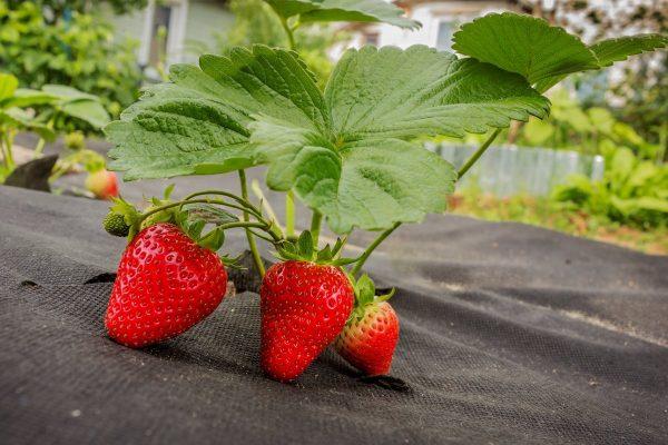 9 лучших материалов для мульчирования земляники садовой. Плёнка ...