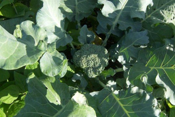 Broccoli-3-640x430-1