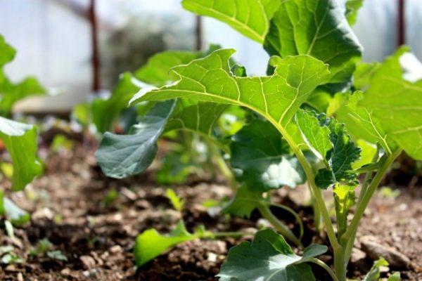 Broccoli-5-640x427-1