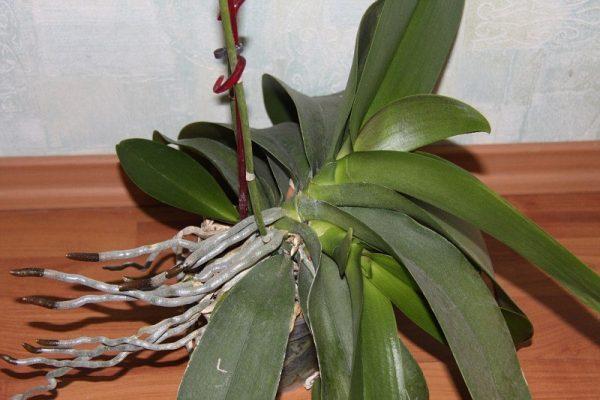 Детки у орхидей и всё о них | ВКонтакте