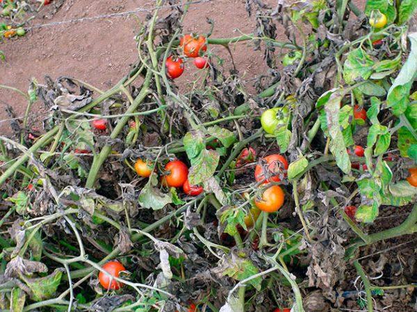 Lechenie-boleznej-tomatov